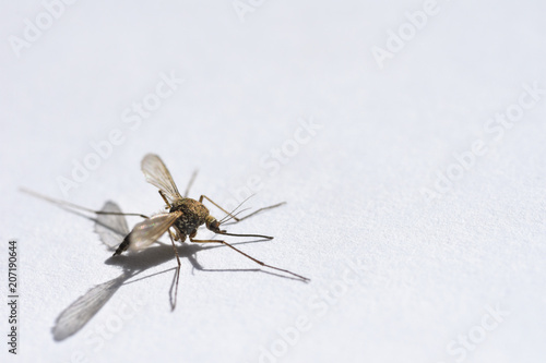 Foto op Plexiglas Macrofotografie Wounded mosquito creeps from danger on a white background close-up, copy space
