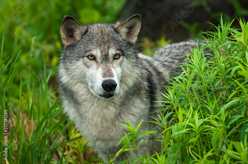 Grey Wolf (Canis lupus) Looks Out From Grass