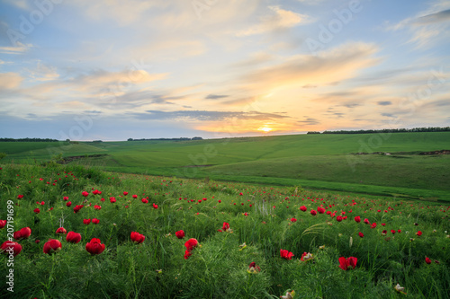 Foto op Plexiglas Platteland A field of red flowers and grass on a beautiful sunset.