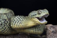 Venomous Bush Viper Snake (Ath...