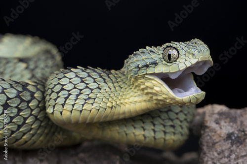 Fotografija Venomous Bush Viper Snake (Atheris squamigera) looking happy