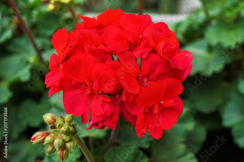 red geranium Wallpaper Mural
