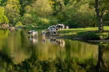 Cows In River Dee Outside Llan...
