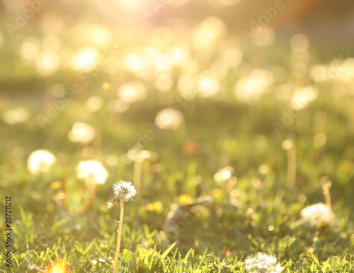 Foto  A blurred background from grass and dandelions in the spring.