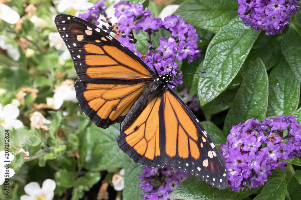 Close up photograph of a Monarch Butterfly with it's wings spread open on Purple Heliotrope flowers