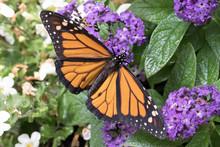 Close Up Photograph Of A Monar...
