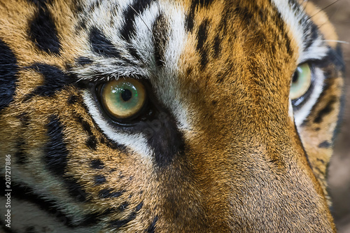 Stampa su Tela close up of bengal tiger eyes.