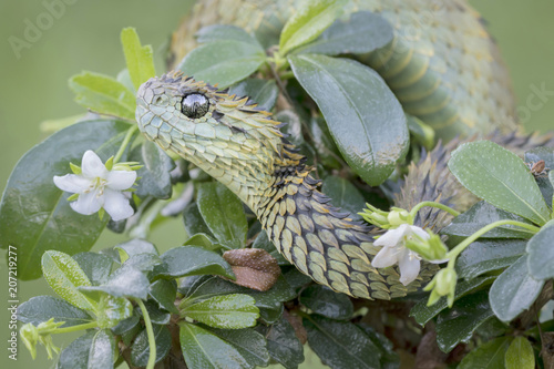 Fotografija Hairy Bush Viper (Atheris hispida) in bush - Venomous Snake