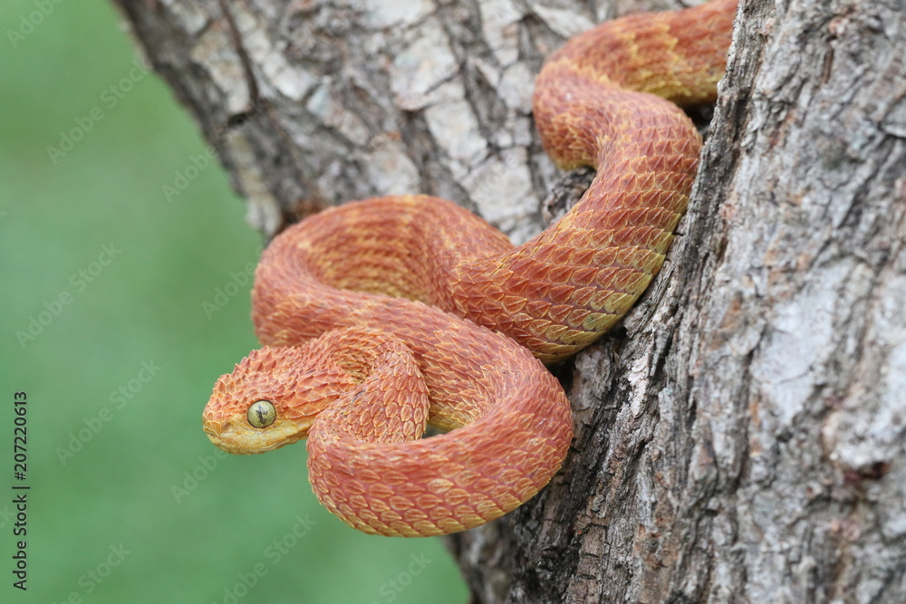 Photo & Art Print Venomous Male Bush Viper (Atheris