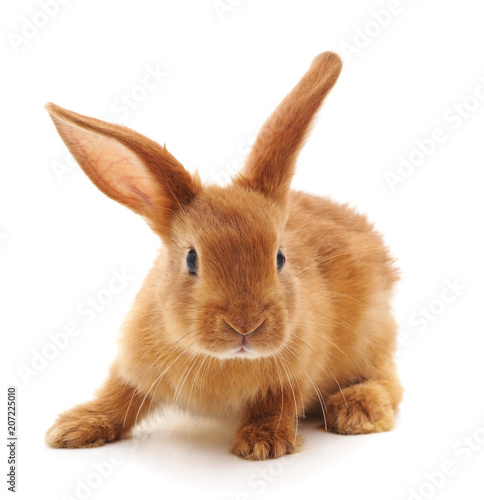 One brown rabbit. Wall mural
