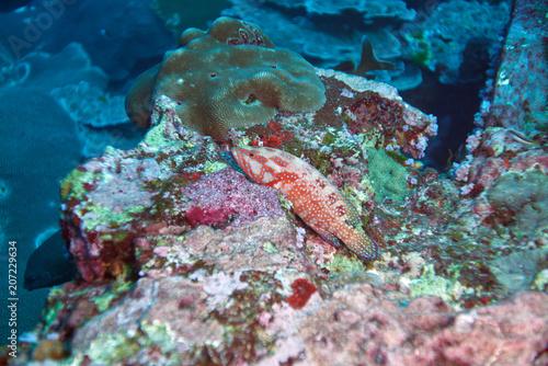 Coral Grouper