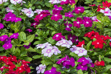 Close Up Beautiful And Colorful Madagascar Periwinkle Flower In Garden