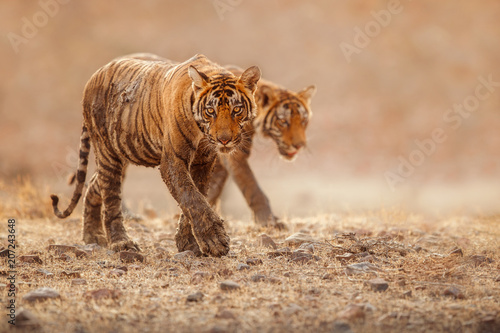 Foto op Plexiglas Tijger Cute tiger brothers in the nature habitat. Tigers walk during the golden light time. Wildlife scene with danger animals. Hot summer in India. Dry area with beautiful indian tiger, Panthera tigris