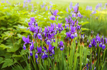 Beautiful Purple Japanese Iris...