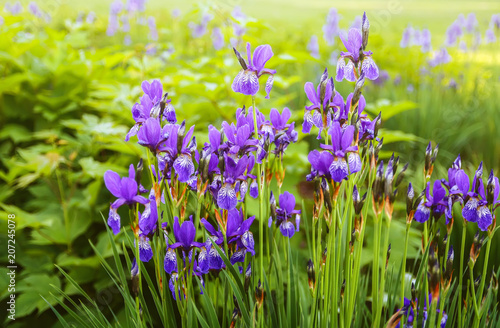Beautiful purple Japanese iris flowers