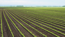 Green Cultivated Soy Plants In...