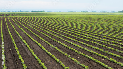 Obraz Green cultivated soy plants in field in spring - fototapety do salonu