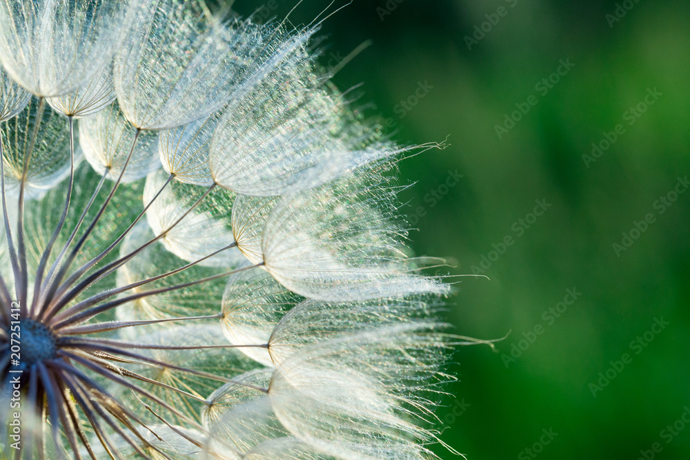 Fototapety, obrazy: dandelion flower background, extreme closeup. Big dandelion on natural background.