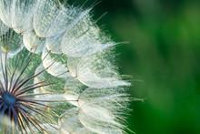 Dandelion Flower Background, Extreme Closeup. Big Dandelion On Natural Background.