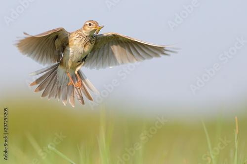 Valokuva  Skylark. Eurasian skylark. Alauda arvensis.