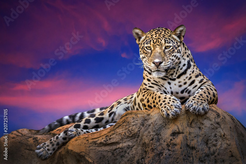 Fotografie, Obraz Jaguar relaxing on the rocks in the evening naturally.