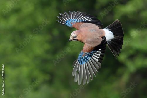 Poster Oiseau Eurasian jay. Garrulus glandarius.