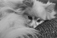 Fluffy Pomeranian Dog Laying On A Blanket Indoors. Black And White Image.
