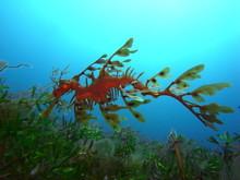Mysterious Leafy Sea Dragon-Ph...