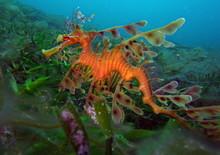 Leafy Sea Dragon-Phycodurus Eq...