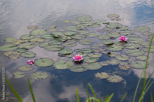 Fotobehang Waterlelies Water lilies, Nymphaea in the pond, relaxation, exotic