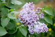 Flowering branch of lilac