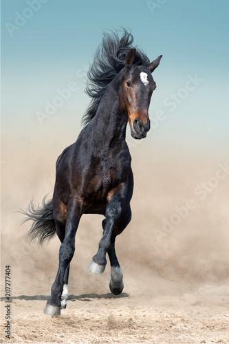 Obraz Bay stallion with long mane run in desert dust against blue sky - fototapety do salonu