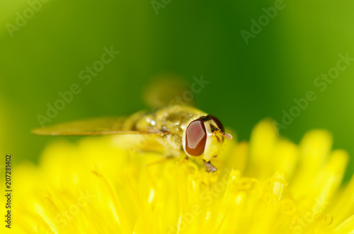 Foto op Plexiglas Macrofotografie German wasp collects pollen from plants.