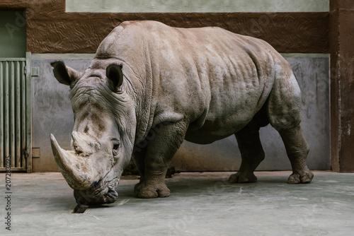 Fotobehang Neushoorn close up shot of endangered white rhino standing at zoo