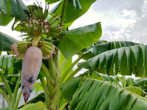 Banana Tree And Banana Fruit And Green Leaf Kaufen Sie Dieses Foto
