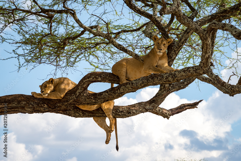 Fototapeta Sleeping and relaxing lions in a tree