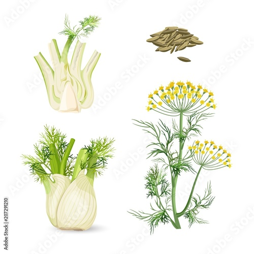 Stampa su Tela Fennel flowering plant perennial herb with yellow flowers, feathery leaves