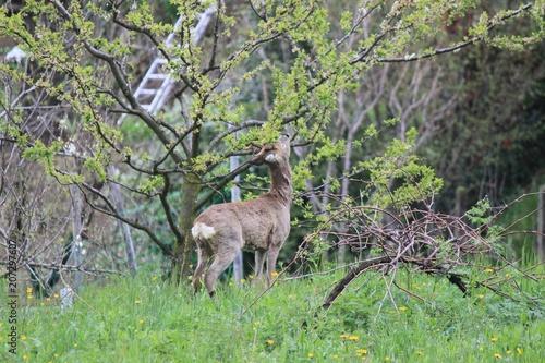 Fotobehang Ree bambi1