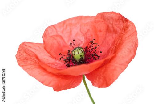 Poster Klaprozen Poppy flower on white background closeup
