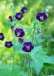 Leinwandbild Motiv Geranium dark brown(Geránium phaeum), flower in the flowerbed in spring, macro photo.