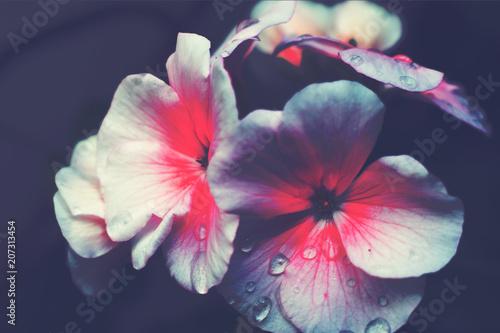Fotografia  Tender flower of intense red color on ash gray background