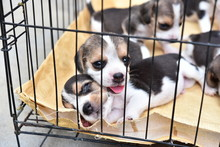 Cute Little Beagles Playing To...