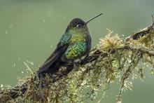 Fiery Throated Hummingbird Per...