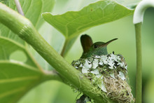 Female Rufous-tailed Hummingbi...