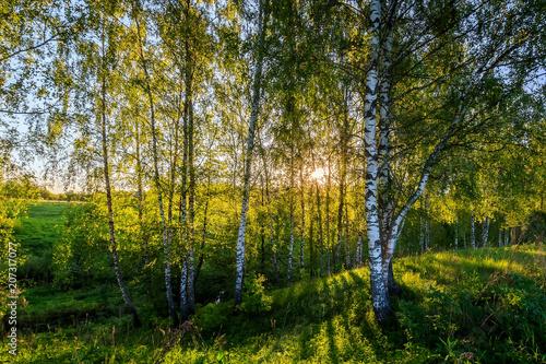 Papiers peints Bosquet de bouleaux Birch forest on a summer sunny evening.