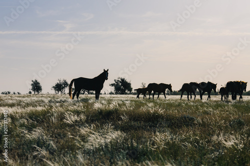 Fotografia a herd of horses grazing in the steppe at dawn