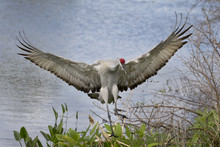 Male Sandhill Crane Landing With Wings Spread