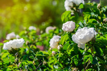 Bushes Of A White Rose In The ...