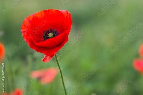 Poster Klaprozen soft focus one poppy flower on green unfocused nature environment