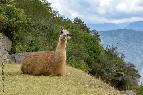 Fotobehang Lama Llama perched on a hill in Peru